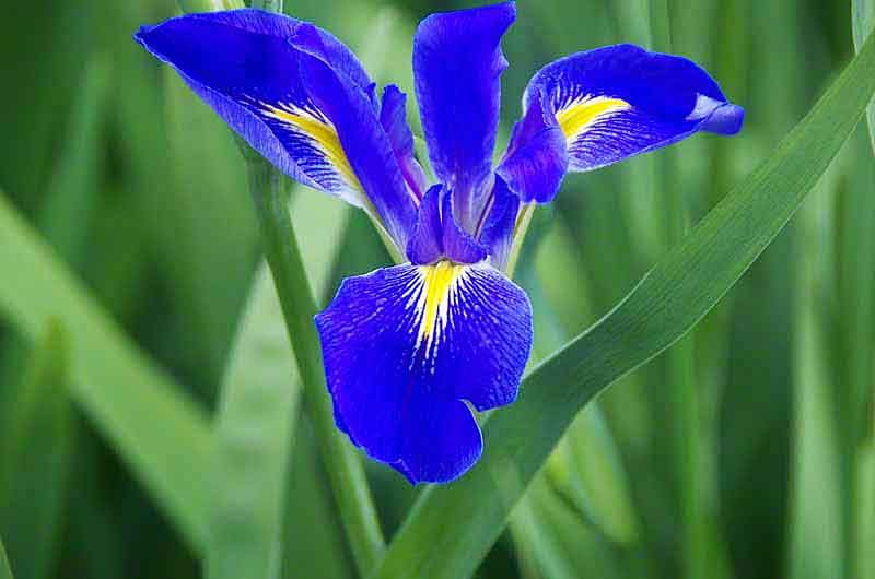 blue iris bing images 2 flowers purple blue white. Black Bedroom Furniture Sets. Home Design Ideas