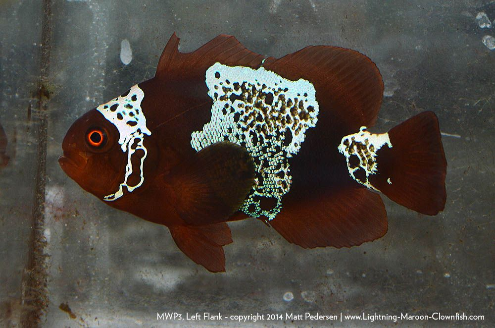 Lightning Maroon Clownfish Offspring Clown Fish Lightning Projects