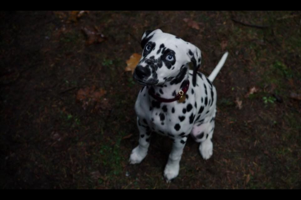I've always wanted a dalmatian puppy! 101 Dalmatians was one of my favourite movies when I was little!
