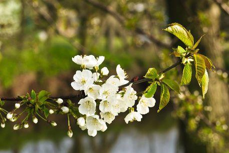 'Spring - Cherry Blossom No. 2' von Roland Hemmpel bei artflakes.com als Poster oder Kunstdruck $16.63