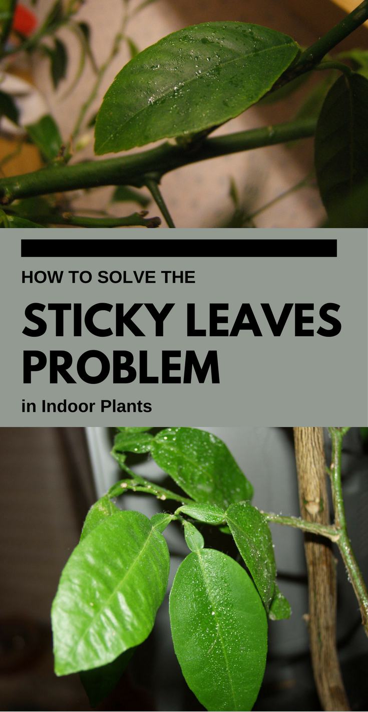 The Stickiness Could Damage Plant Health If Infestation Isn T Controlled However Check Your Plants And Start Treatment For Sticky Leaves