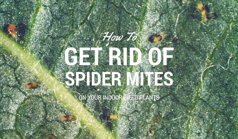 Do your weed plants have spider mites? Read our guide to find out for sure and learn everything you need to know about how to get rid of spider mites. Read the entire article: https://indoorgrowguru.com/how-to-get-rid-of-spider-mites/