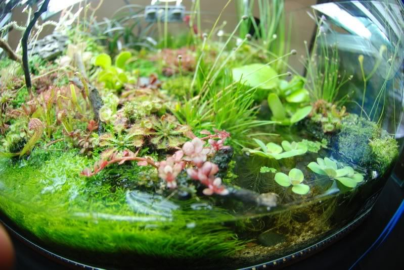 Nano Aquarium with Carnivorous Plants   정원 가꾸기, 식물, 정원