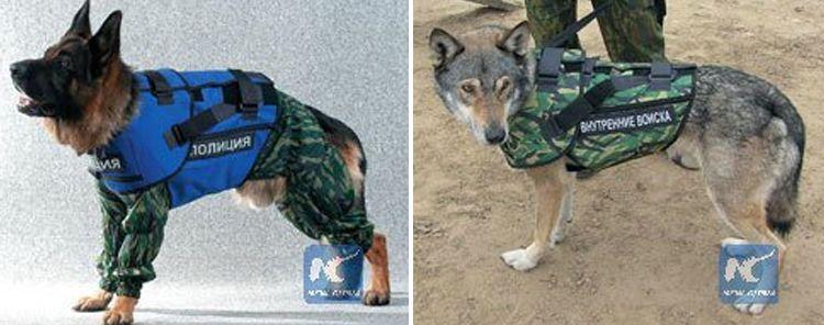 Una empresa de Rusia ha empezado a fabricar chalecos antibalas para proteger a los perros policía de las balas, granadas y heridas de arma blanca, después del endurecimiento de las medidas de segur…