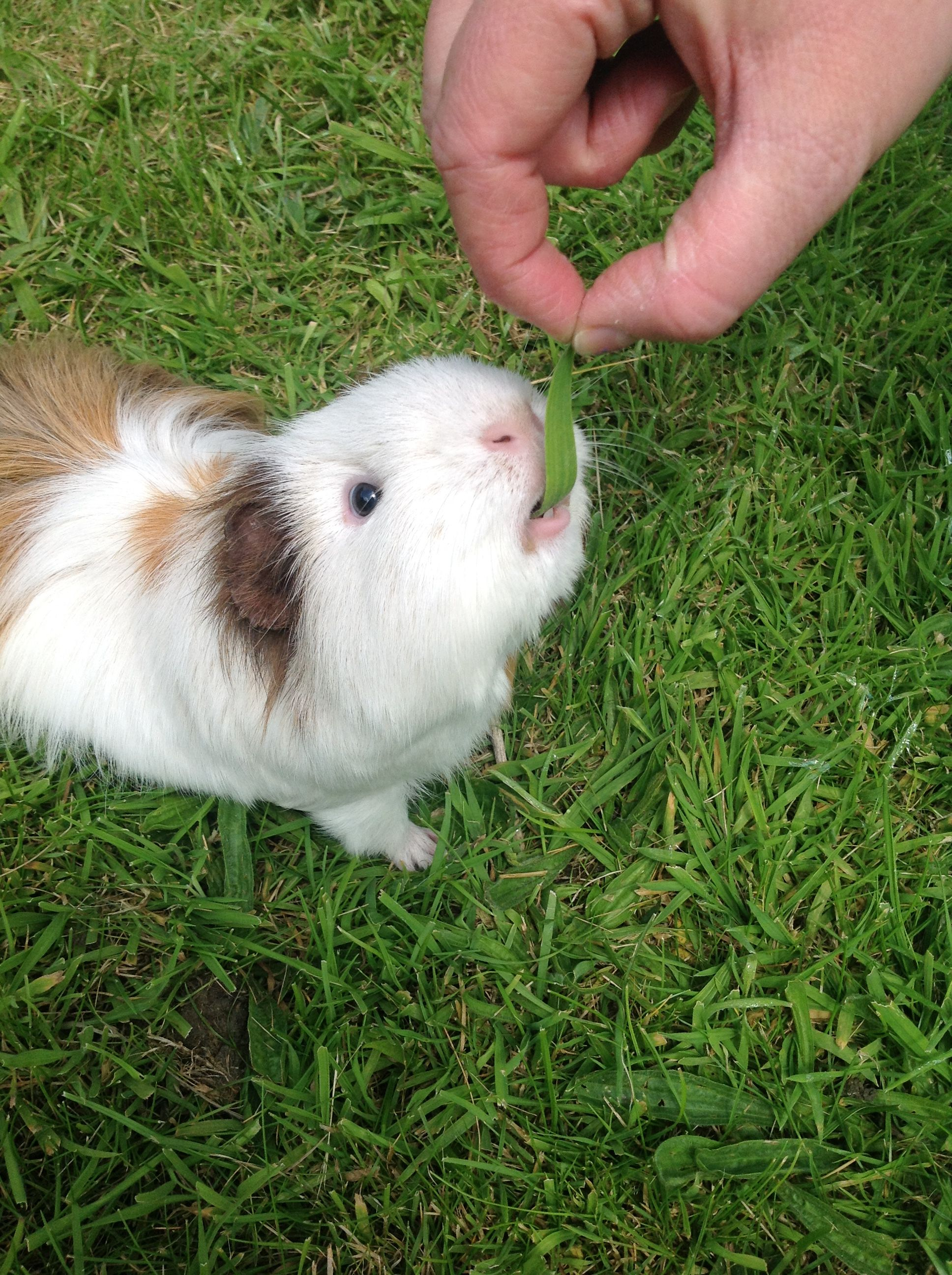 This is our guinea pig, he's called Rodney and about 5 years old
