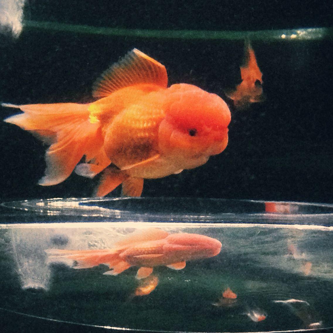 Lion Head Goldfish Goldfish Lion Head Fish Pet