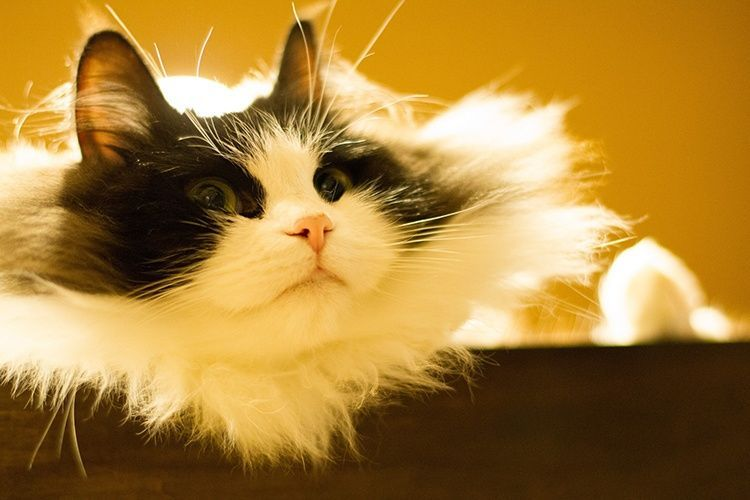 Best Cats For Kids 14 Breeds That Get Along With Children Ragamuffin Cat Cat Breeds Large Cat Breeds