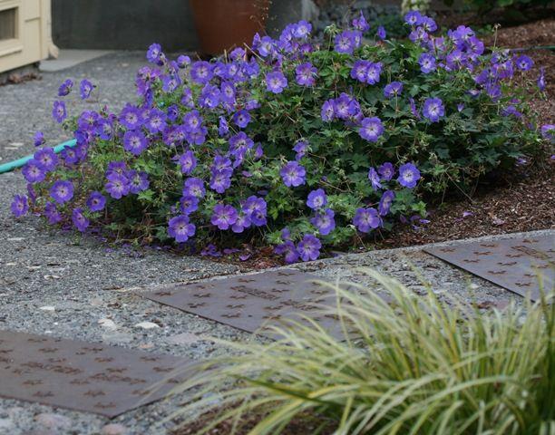 geranium rozanne love love love this plant have some. Black Bedroom Furniture Sets. Home Design Ideas