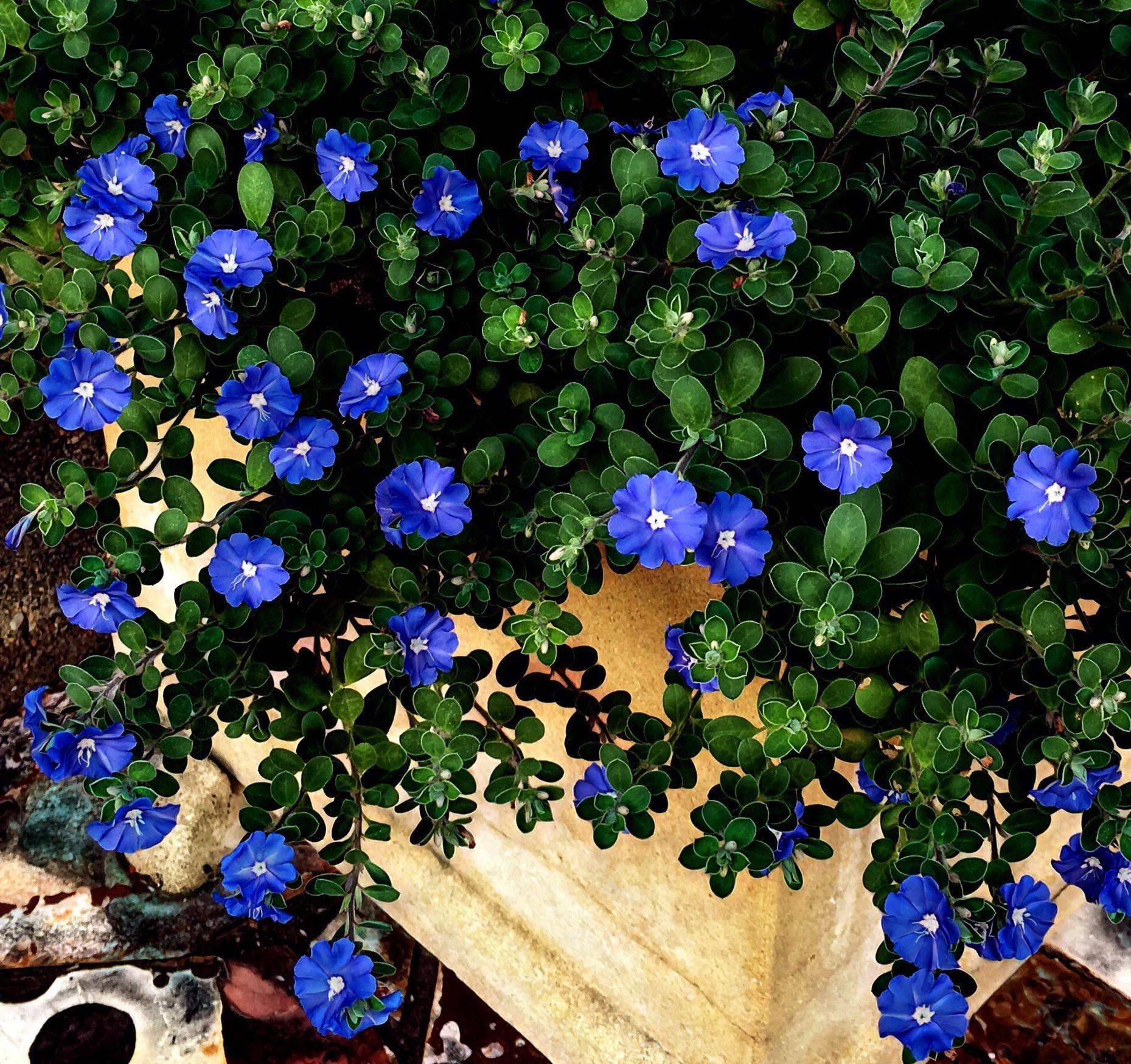 Baby blue eyes evolvulus pilosus flower power house