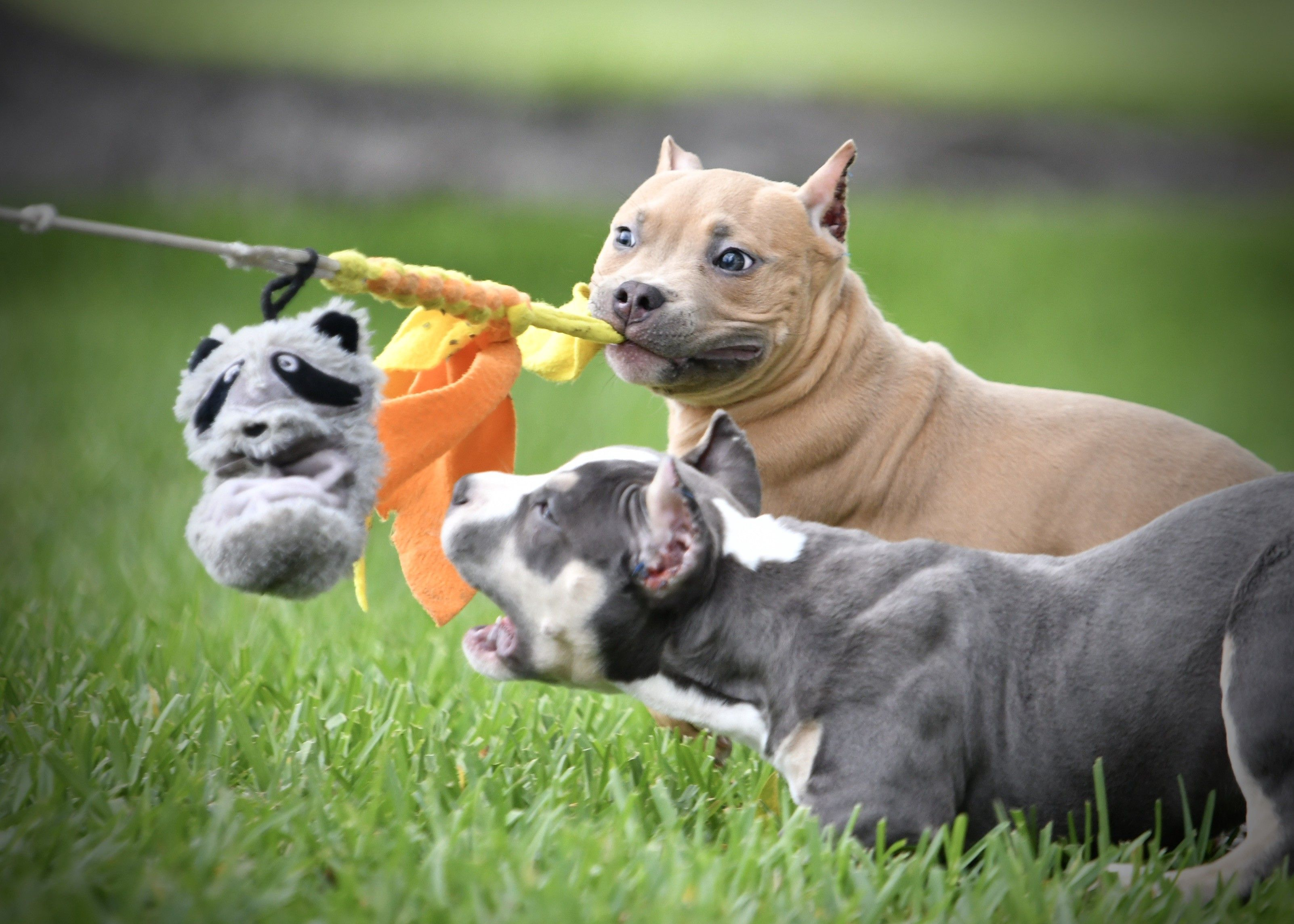 Pocket Bully Breedings The Best American Bully Puppies For Sale