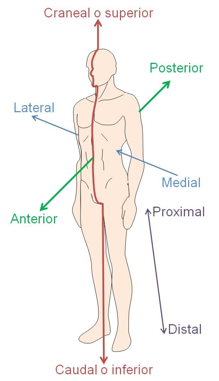Resultado de imagen de planos del cuerpo humano | Localización de ...