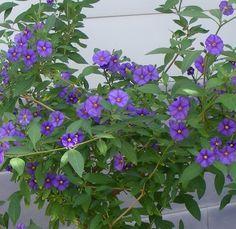 Mein Dauerblüher, das Enzianbäumchen (Solanum rantonnetii)   jK's Pflanzenblog