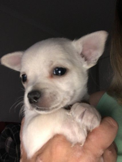 Full Pedigree Chihuahua Chihuahua Puppies French Bulldog