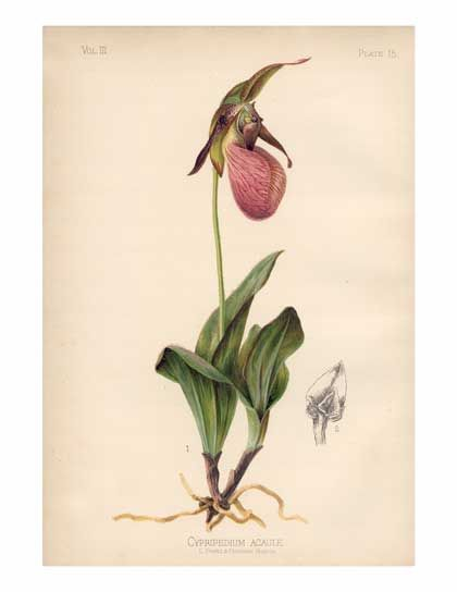 Cypripedium Acaule Pink Lady S Slipper Orchid Range Eastern U S Botanical Prints Flower Painting Orchid Illustration