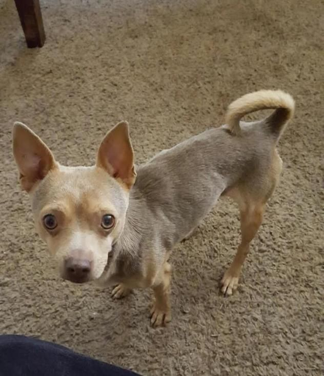 Adopt Tom On Doggy Chihuahua Dogs Rescue Dogs
