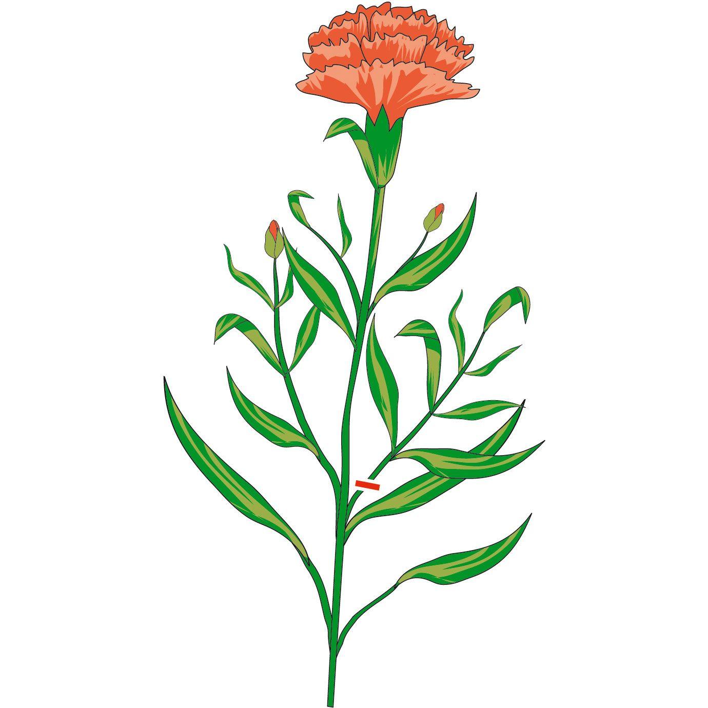Moltiplicare crisantemi, garofani, verbena ed erbe aromatiche - Cose di Casa