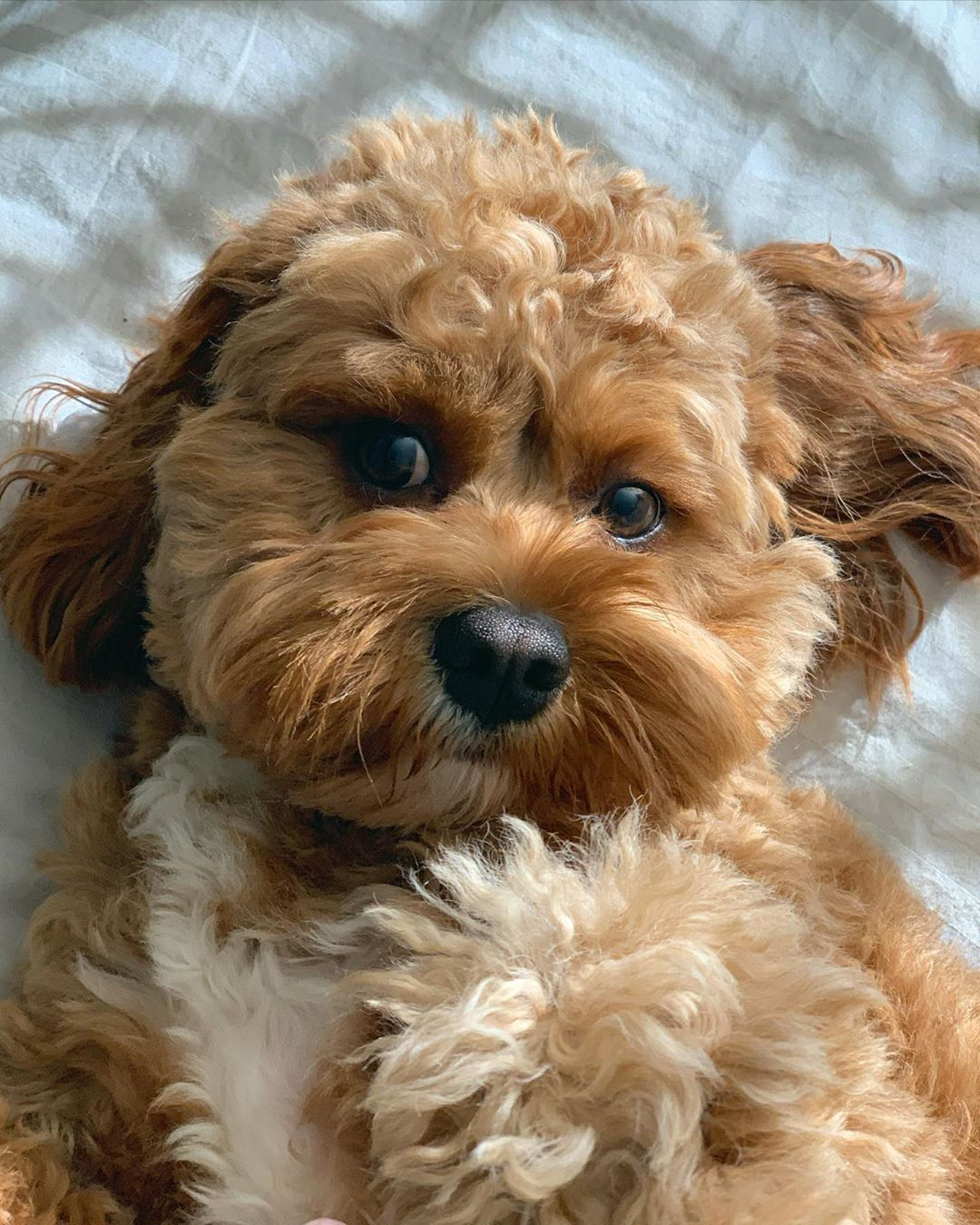 Brady The Cavapoo On Instagram Will You Rub My Belly Please Cavapoo Cavoodle Doodle Dog Puppy Cavapoopupp In 2020 Cavapoo Cavapoo Puppies Poodle Puppy