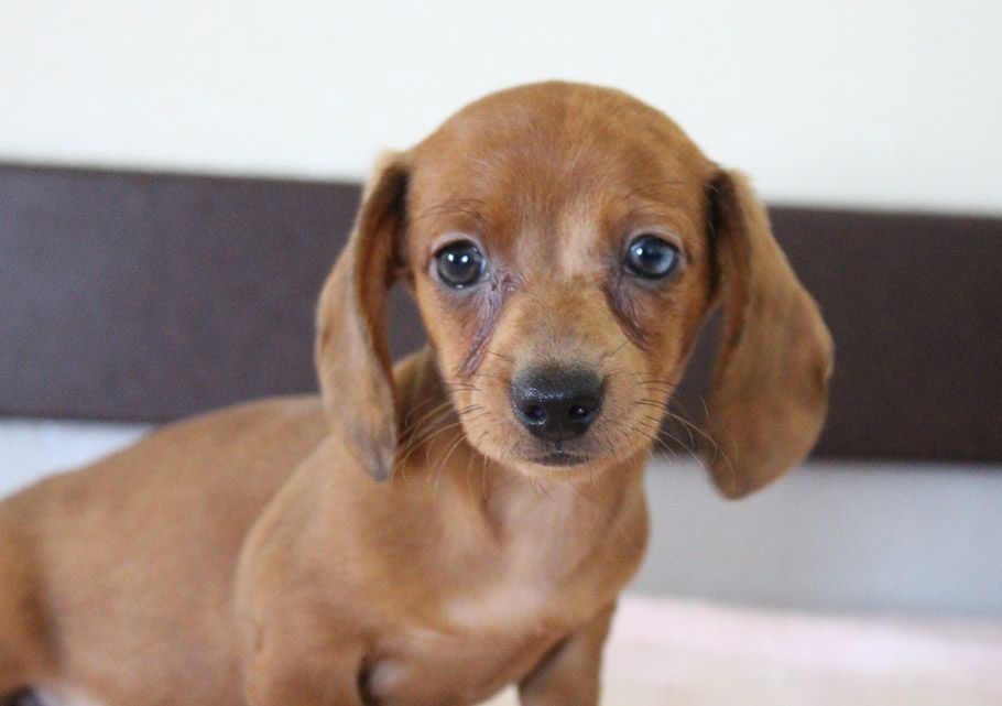 Danika Akc Dachshund Doggie For Sale At Shipshewana Indiana