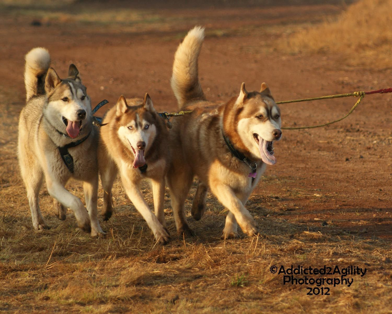 Huskies Enjoying Dryland Sledding In Gauteng South Africa