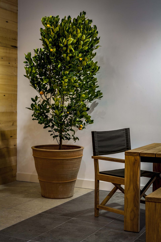 martin kellock pots and planters  lemon tree in a cretan pot