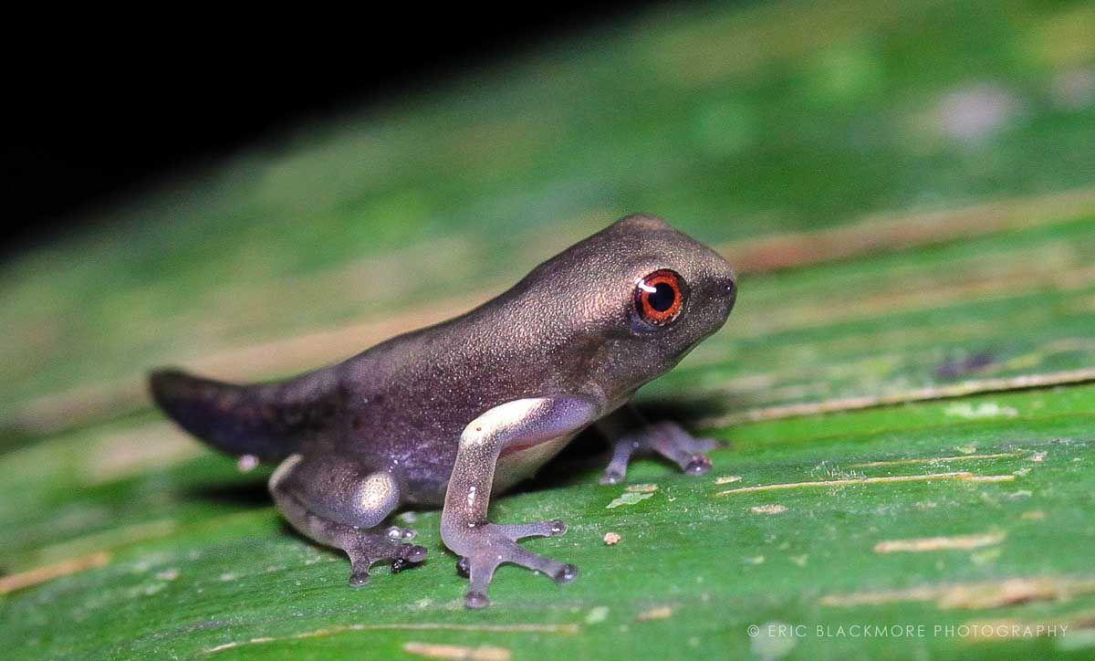 Бересклет бородавчатый (euonymus verrucosus): фото и