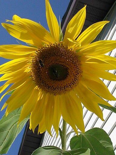 Sunflower Plants Garden Flowers