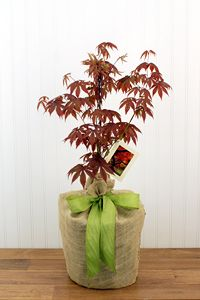 In Memory Japanese Red Maple Tree - Large