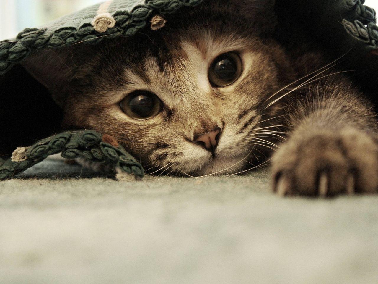 Kissanpentu Kuvia Kissa Taustakuvia Silmat Vektori Tassut Taustat Tumma Materiaali Tyopoydan Taustak Cute Cat Wallpaper Funny Cat Wallpaper Cat Photography
