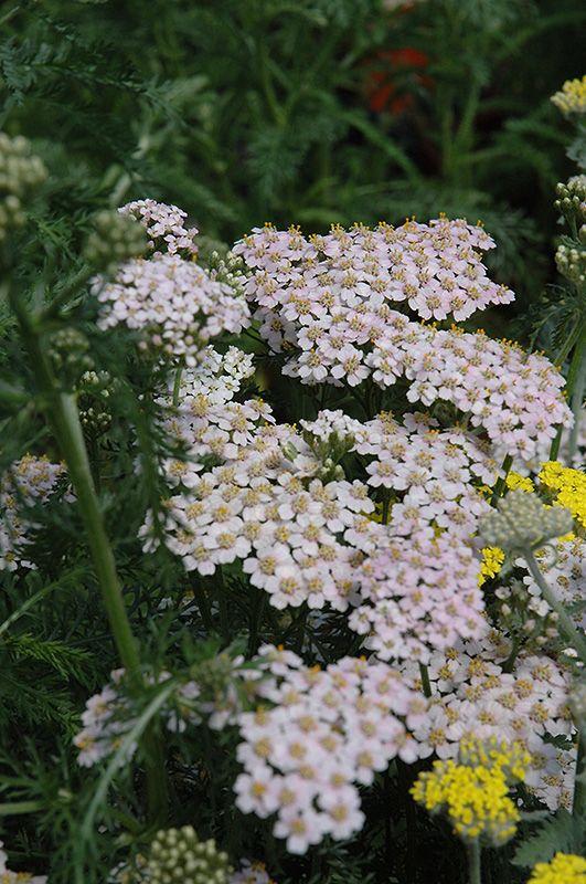 Click To Close Image Click And Drag To Move Achillea Millefolium Meadows Farms Plants