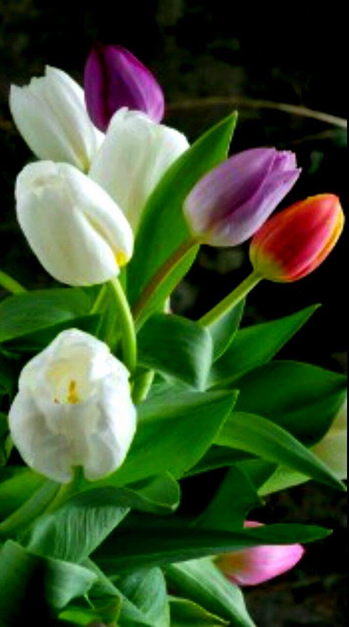 Tulipanes ..