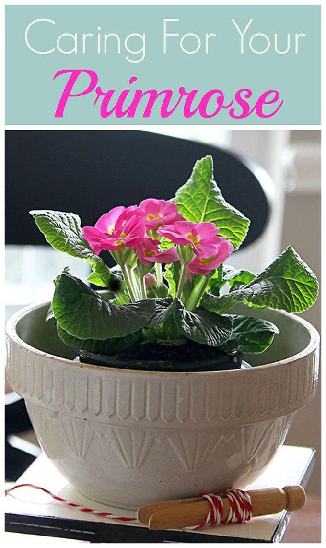 Caring For Primrose Primrose Plant Plants Plant Care