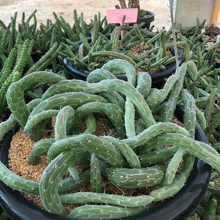 cactus unique and weird rare hanging  succulent snake cactus plant that flowers