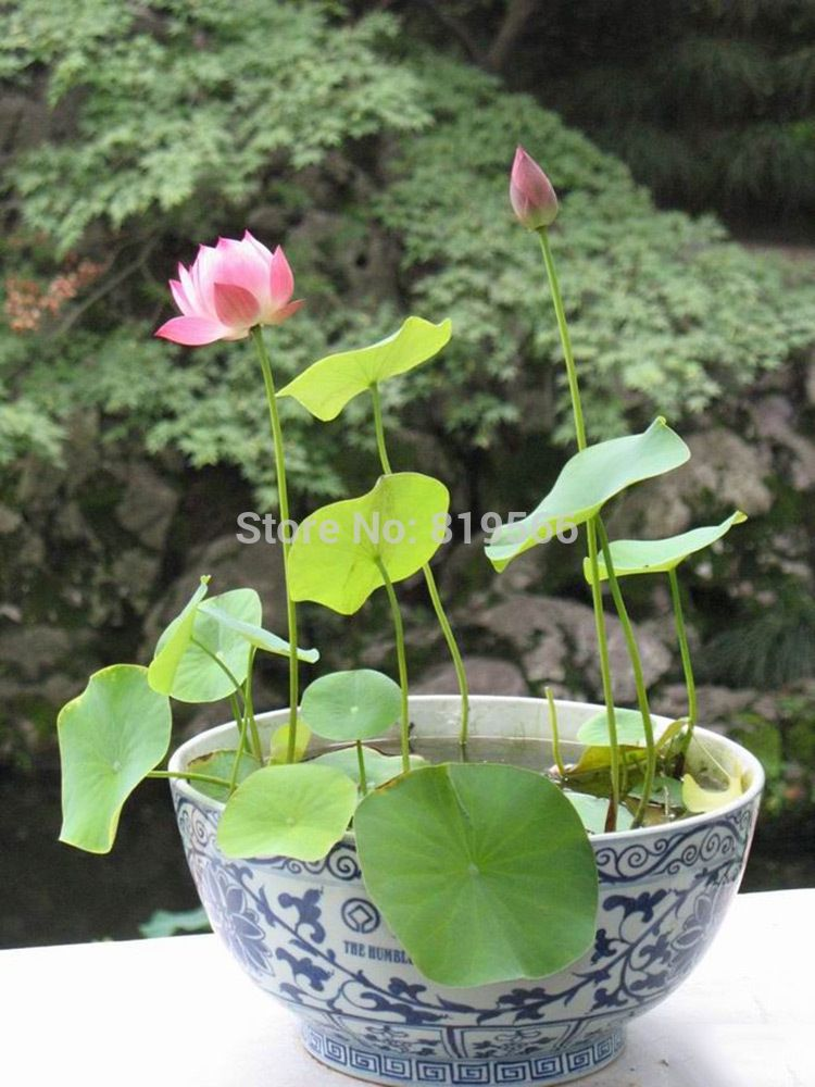 Water Lily Seeds Chinese Mini Bowl Lotus Flower Sementes Indoor