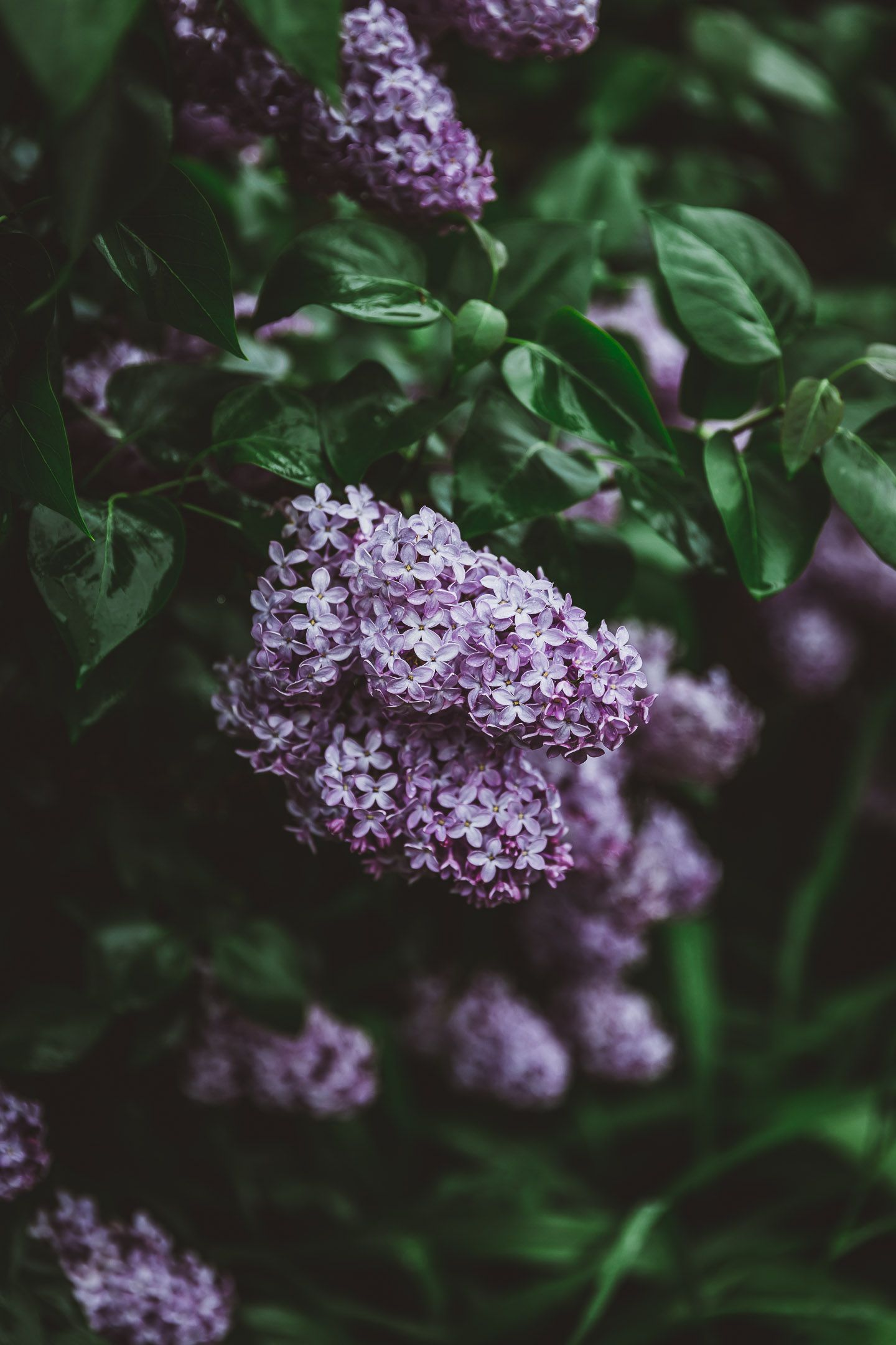 Pin On Lilac Love
