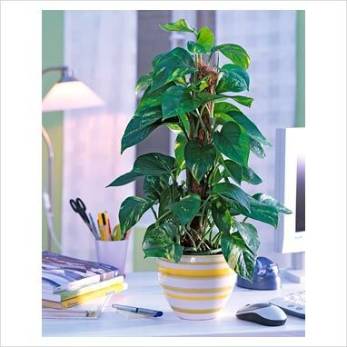 The Pothos Totem is a great addition to any office; it is not only an accent piece but also helps purify the air.