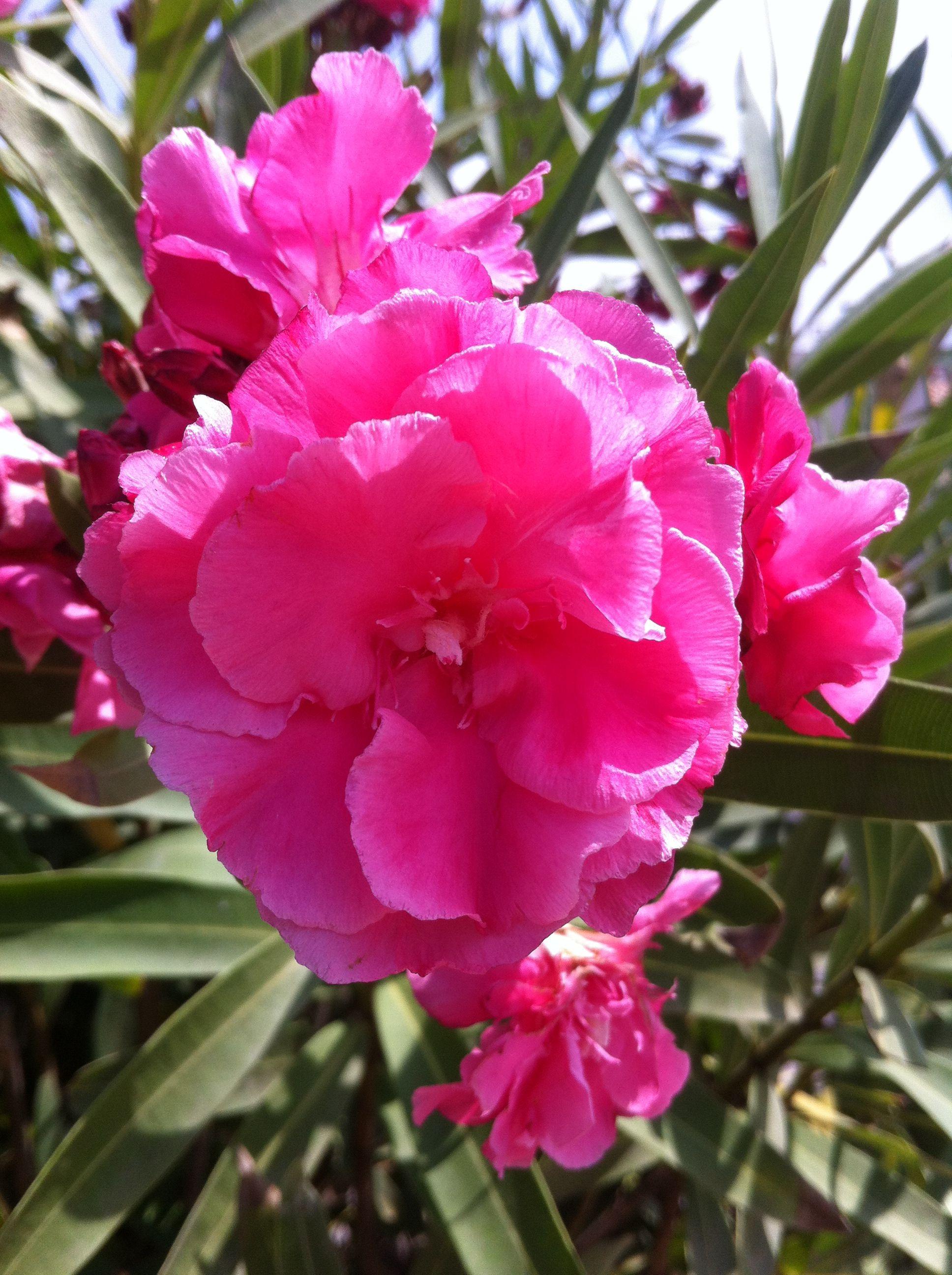 Pink Flowering Shrub Flora Of Malta Pinterest Flowering Shrubs