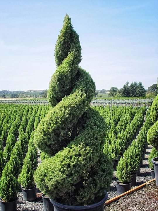 Pleasing Celebrating With Spiral Topiaries Topiary Trees Outdoor Door Handles Collection Olytizonderlifede