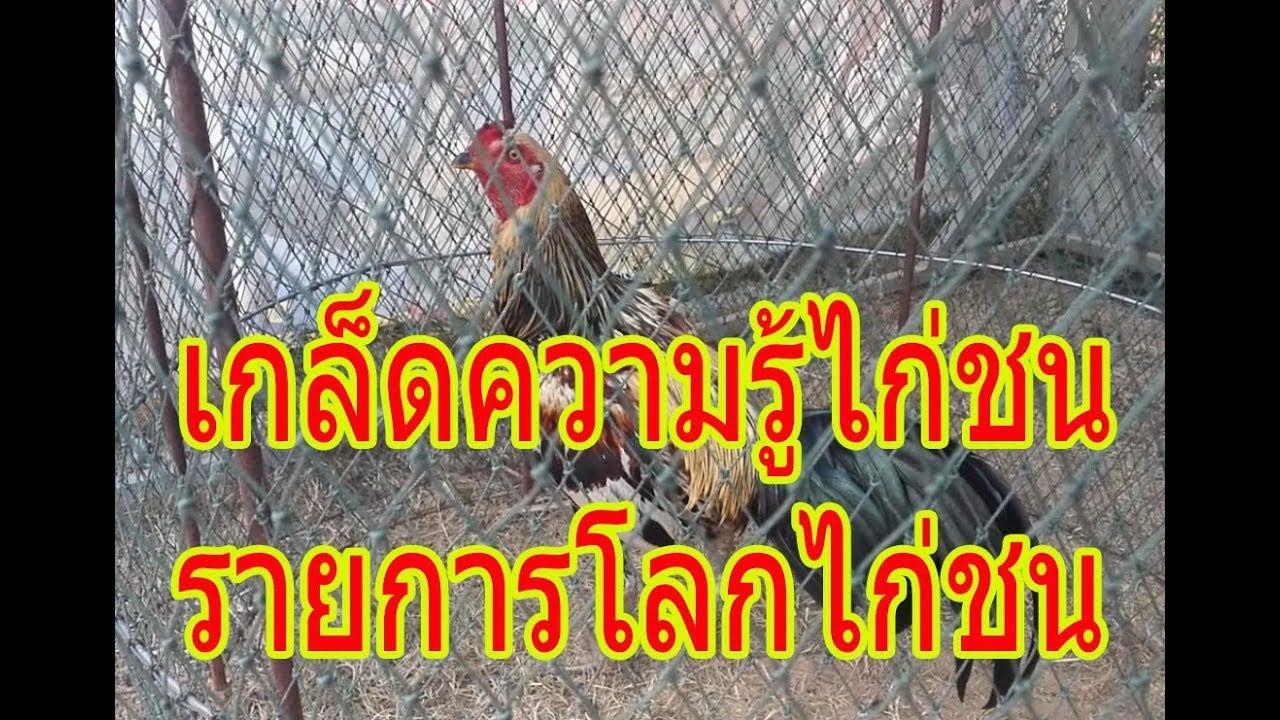 ป กพ นโดย ไก ชน ช องรวมม ตรไก ชน ใน ไก ชน ช องรวมม ตรไก ชน Cockfighting In Thailand