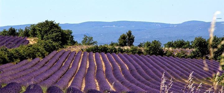 Lavender in summer in Provence- from 'The Good Life' website