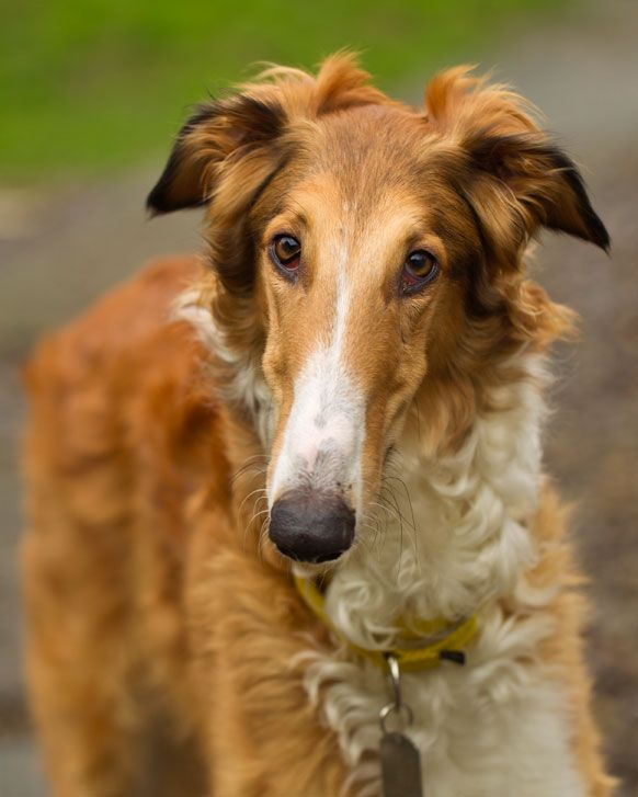 Timber Is Such A Beauty Borzai Borzai Collie Mix Borzoi Dogs