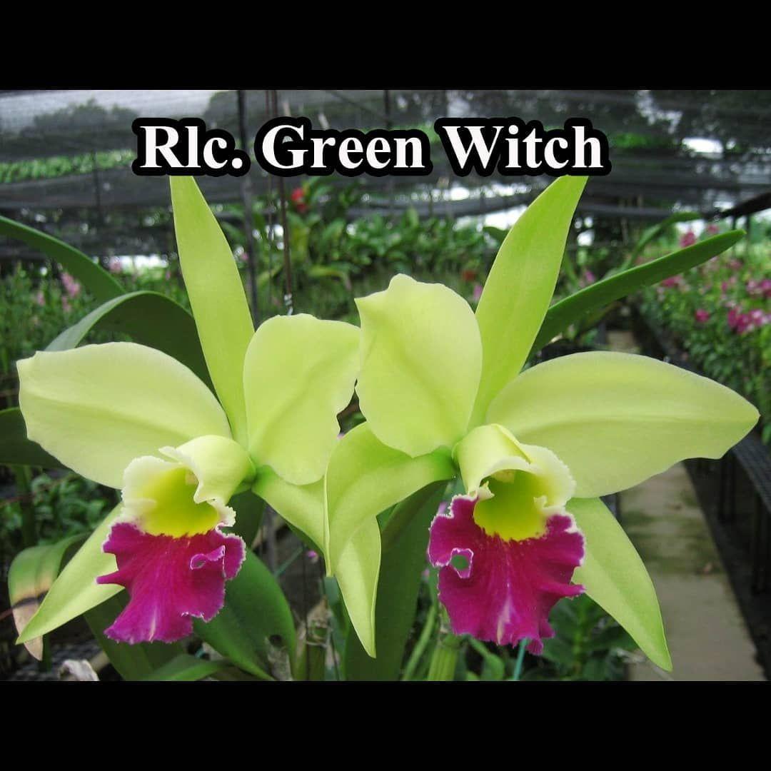 Cattleya Greenwitch Memiliki Bunga Dominan Hijau Dan Labellum Berwarna Ungu Kemerahan Pekat Bunganya Tahan Lama Dan Memiliki Aroma Wan Green Witch Green Plants