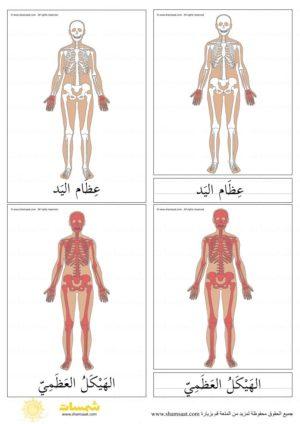 الهيكل العظمي بطاقات المونتسوري المكونة من ثلاثة أجزاء 1 Art