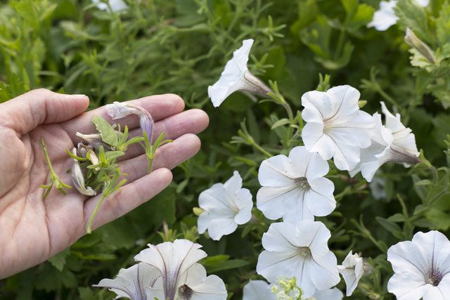 How To Deadhead Petunias Hunker Petunia Plant Deadheading Flowers Petunia Care