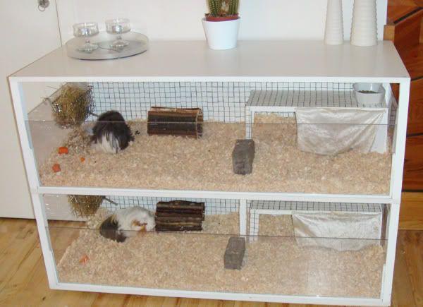 Cara Merawat Landak Mini Yang Baik Landak Mini Tikus Belanda Landak