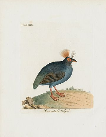 Crowned Partridge Bird- India USD $55 John Latham General History of Birds Prints