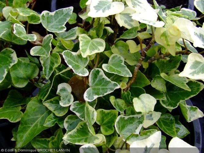 hedera helix 39 white wonder 39 lierre panach plantes pinterest jardins blancs fleurs. Black Bedroom Furniture Sets. Home Design Ideas
