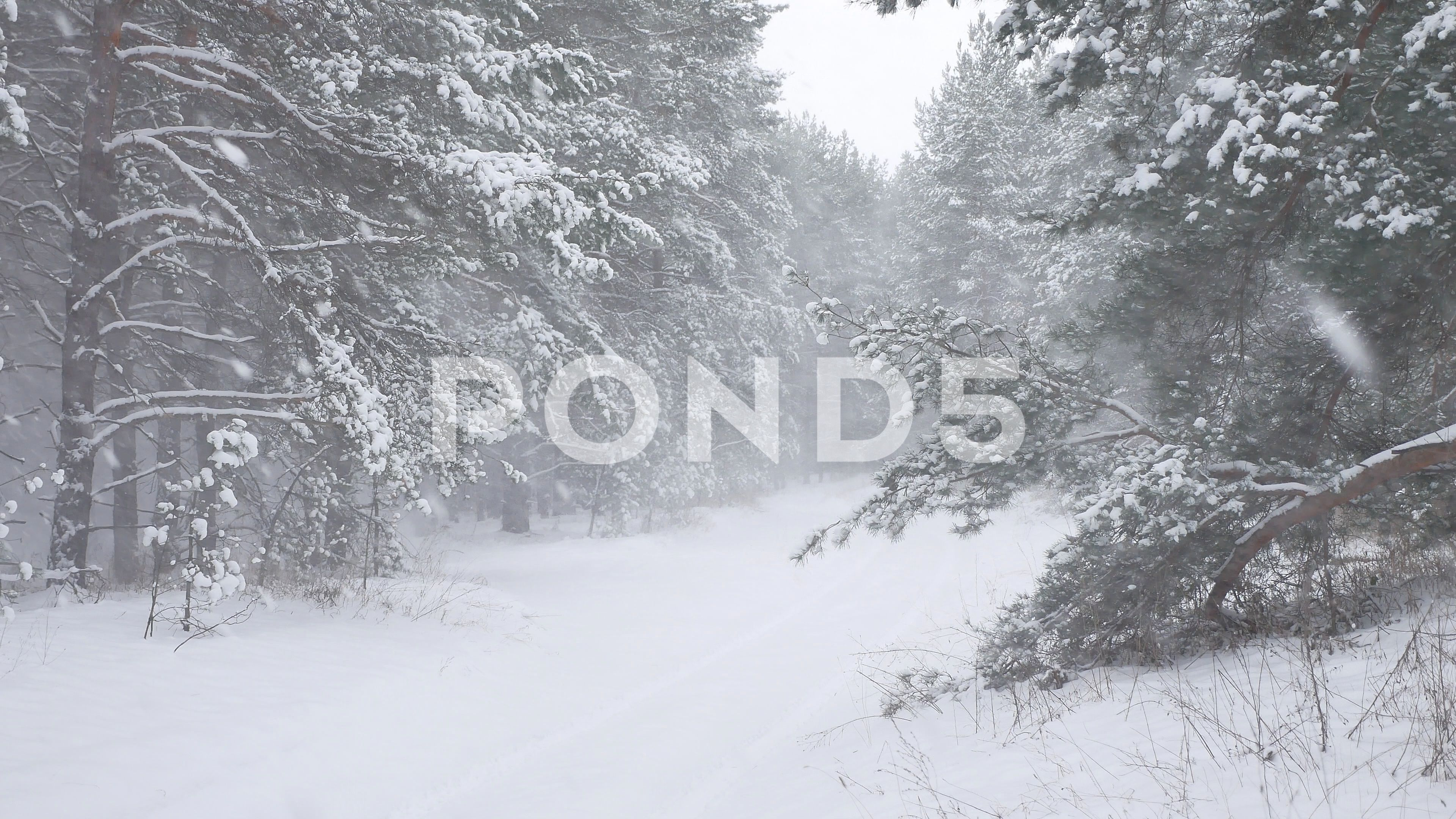 Winter Forest Nature Snowing Pine Forest With Snow Landscape Beautiful Snow Stock Footage Snowing Pine Nature Winter Winter Forest Pine Forest Forest