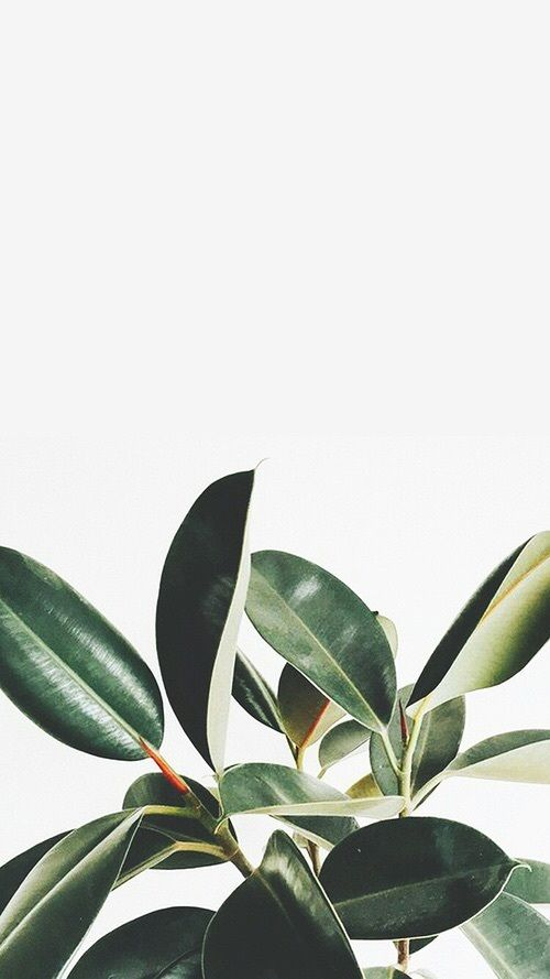 Love my rubber tree plant Plant wallpaper, Tumblr iphone