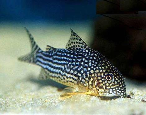 Corydoras Sterbai Knaack 1962 Sterba Cory Sterbai Fresh Water Fish Tank Cory Catfish Freshwater Catfish