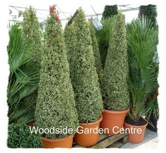 Large Variegated Buxus Pyramid Plant | Woodside Garden Centre | Pots to Inspire